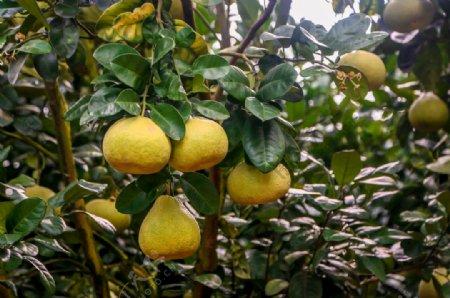 仙游度尾文旦柚丰收节丰收年图片