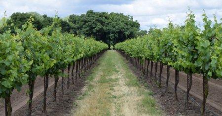 葡萄园风景图片