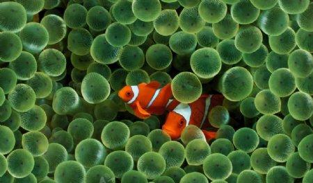 小丑鱼图片