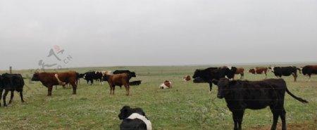 草原牛群图片