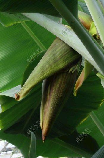 香蕉花蕾图片