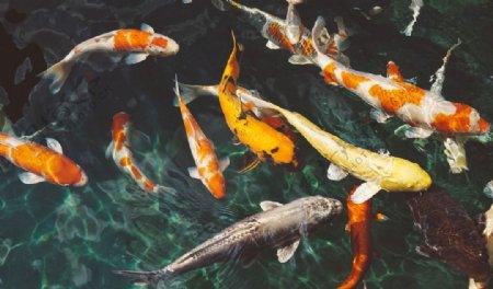 鲤鱼锦鲤鱼类野生背景图片
