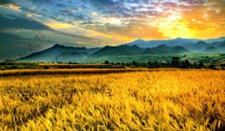 稻田风景油画图片