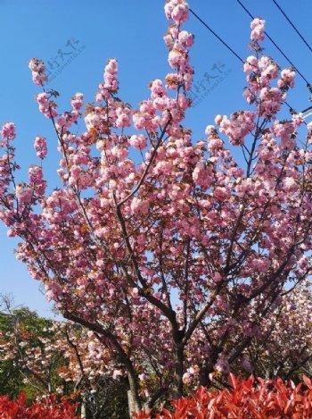 灿烂春桃花图片